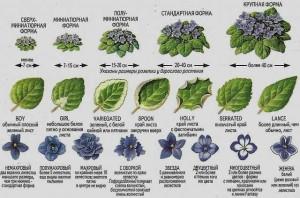 классификация фиалок по типу цветка и листа