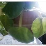 Поникшие из-за проблем с корневой листья