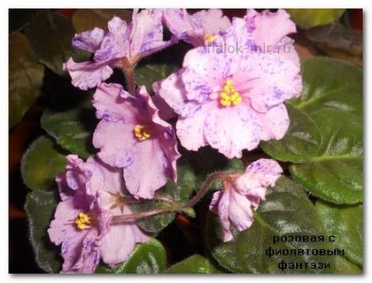 Розовая с фиолетовым фэнтэзи